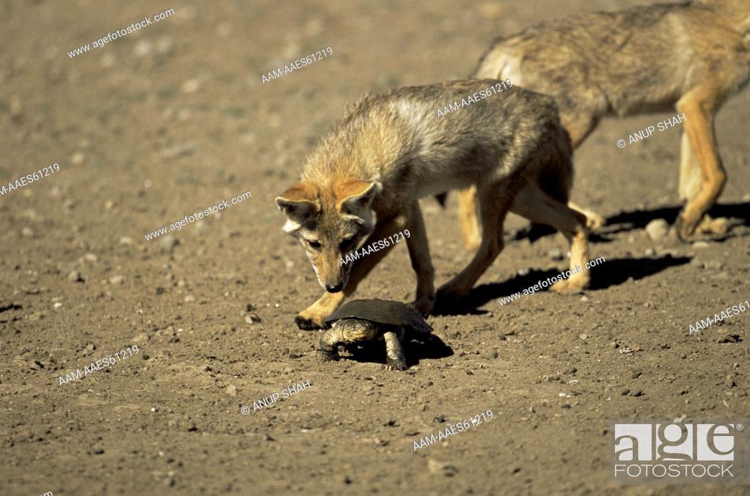 Stock Photo: Golden Jackal (Canis aureus) investigating Terrapin, Ngorongoro Conservation Area, Tanzania.