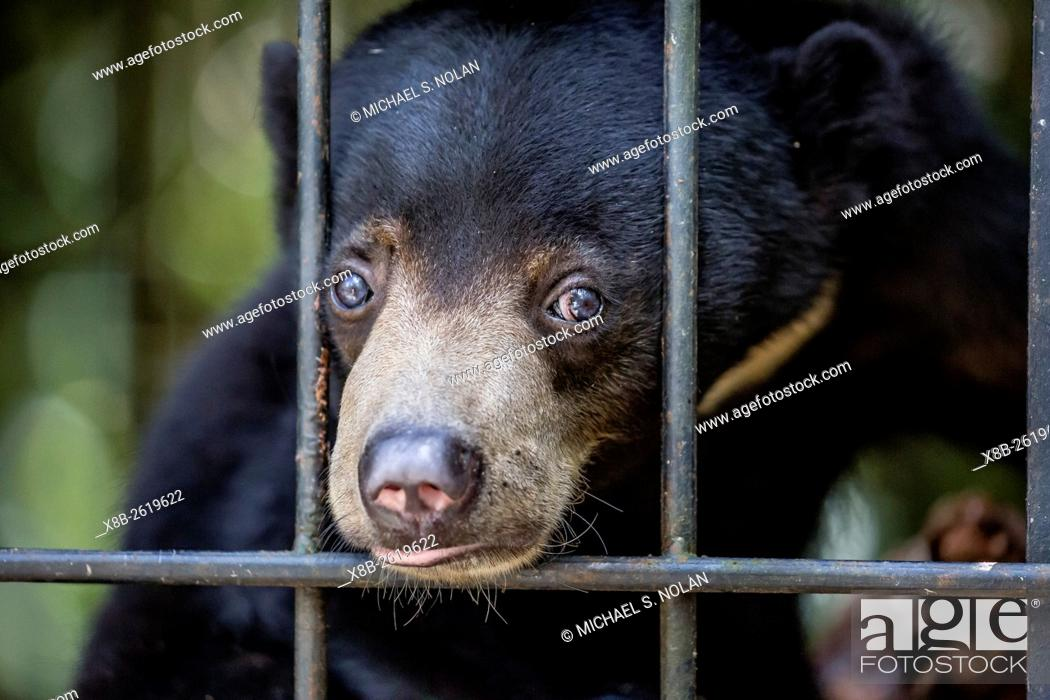 Stock Photo: A young sun bear, Helarctos malayanus, confiscated from the pet trade, Camp Leakey, Tanjung Puting NP, Borneo, Indonesia.