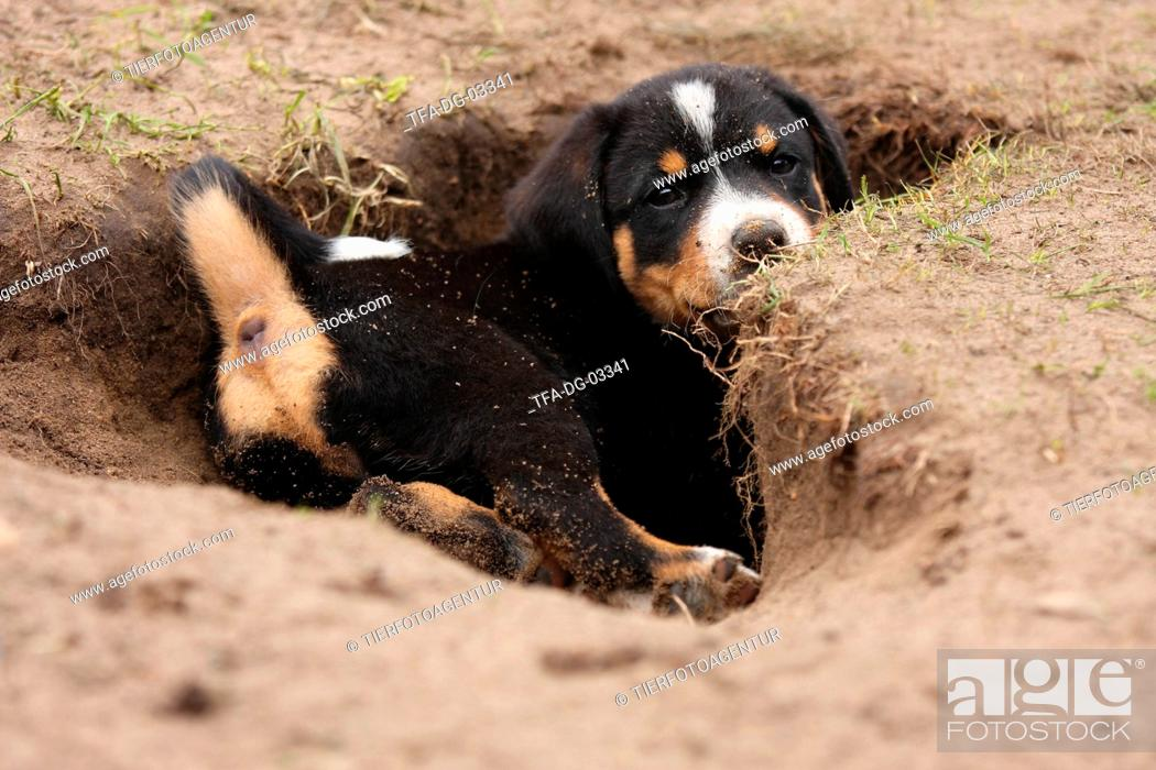 Appenzeller Mountain Dog Puppy Stock Photo Picture And