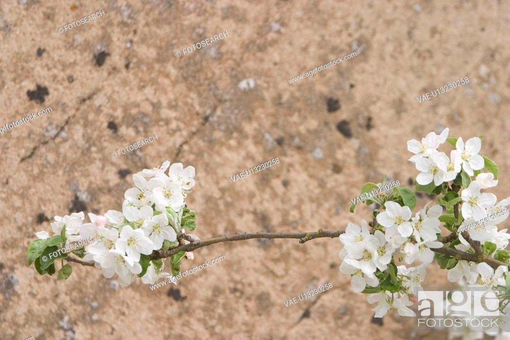 Stock Photo: bloom, blossom, close-up.