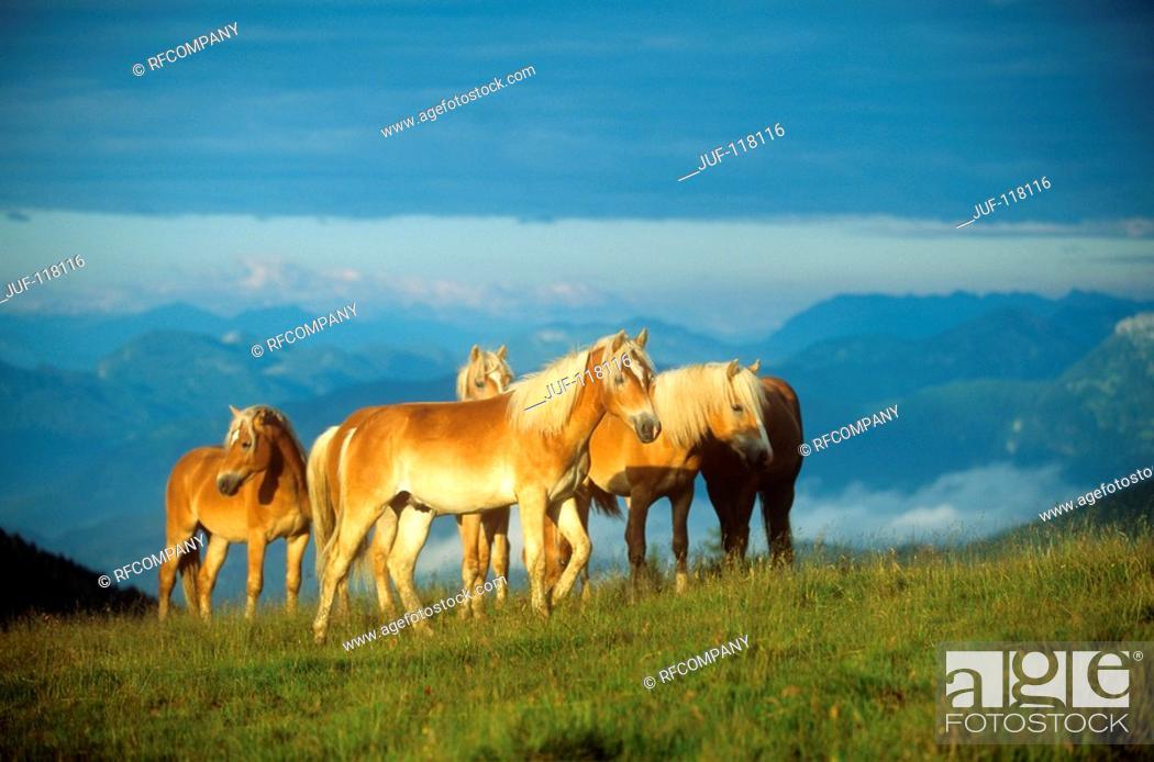 Stock Photo: five Haflinger on meadow.