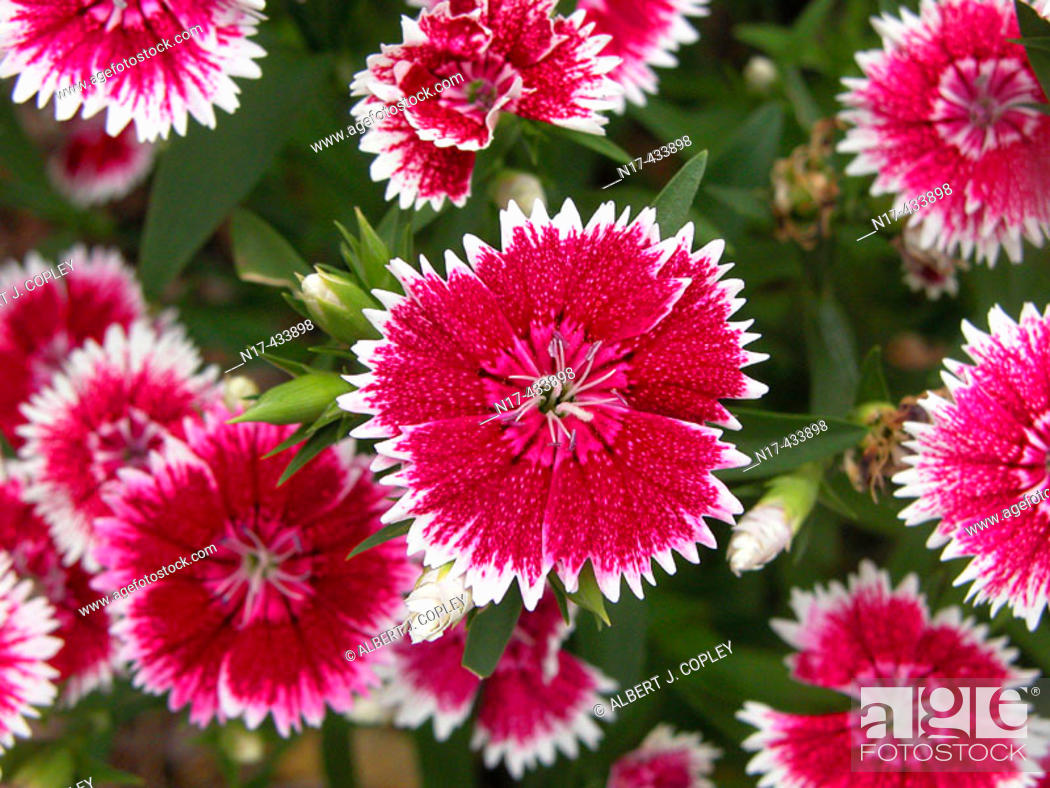 Stock Photo: Carnations (Dianthus sp.).