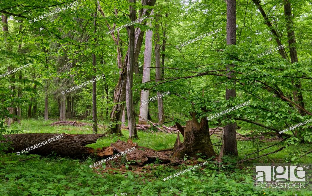 Stock Photo: Rich deciduous stand in spring with broken maple tree in foreground, Bialowieza Forest, Poland, Europe.