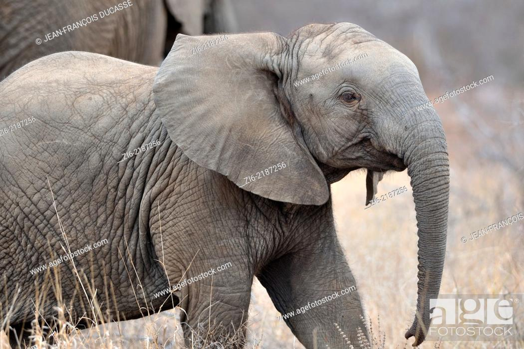 Stock Photo: African elephants, (Loxodonta africana), elephant calf walking in dry grass, Kruger National Park, South Africa, Africa.