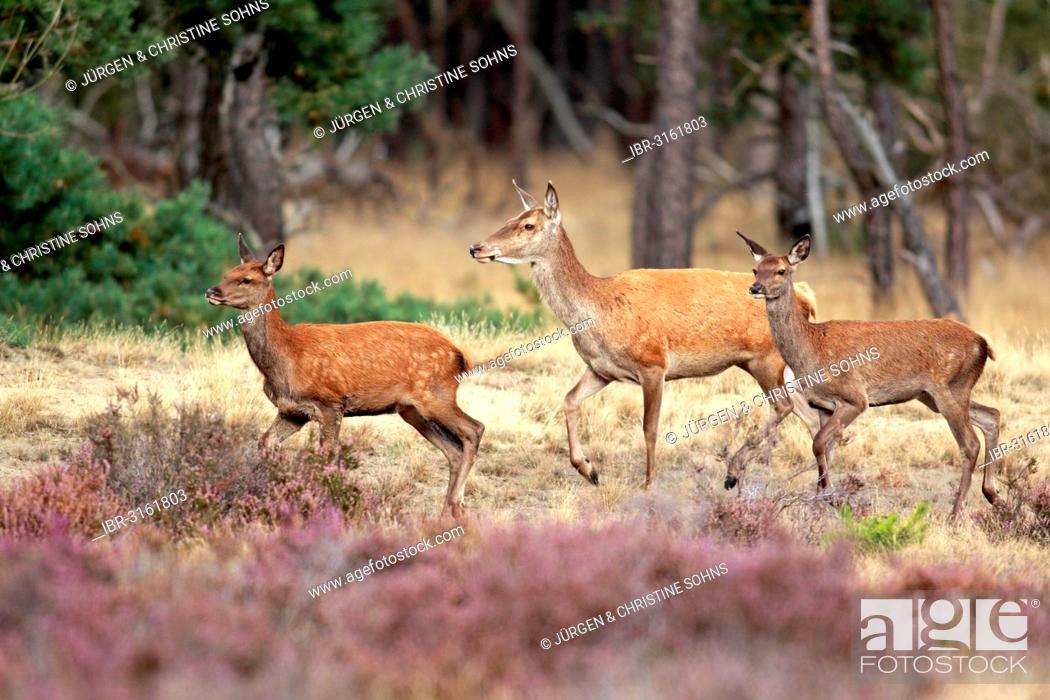 Stock Photo: Red Deer (Cervus elaphus), adult hinds, Hoge Veluwe National Park, Gelderland, The Netherlands.