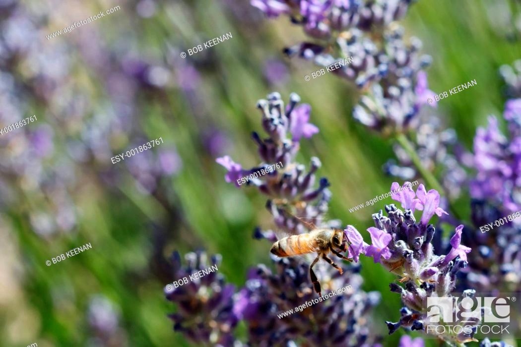 Stock Photo: Flying bee in lavender.