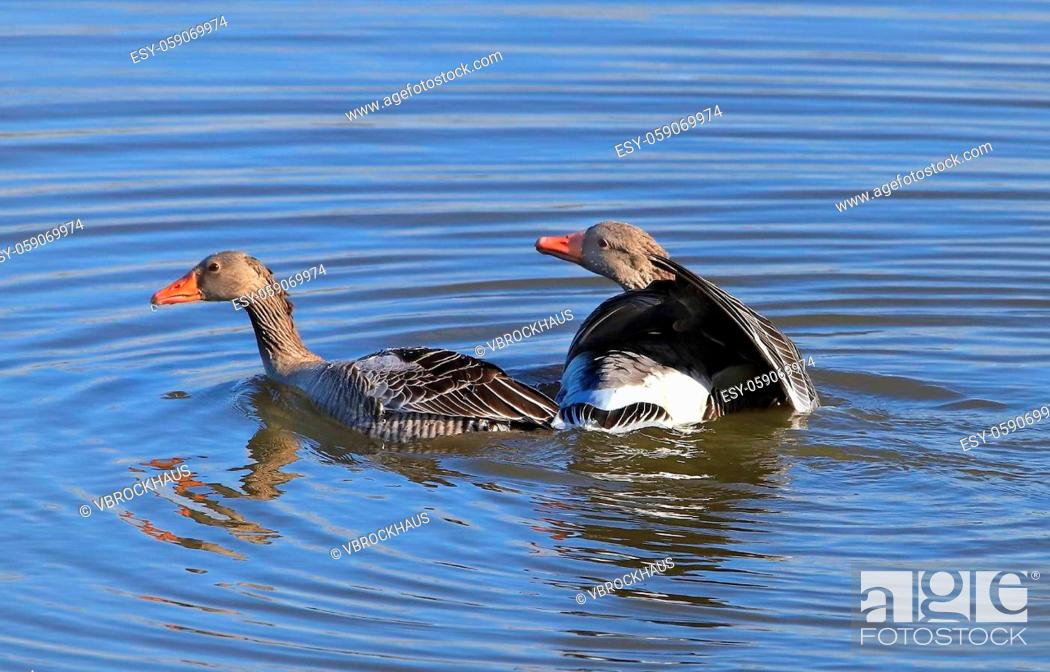 Stock Photo: Greylag gooses shortly after the underwater mating, hen goose resurfaced, gander looking tender and thankful to her, picture 3 from 3.