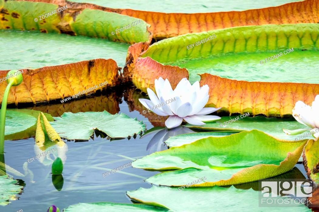 Stock Photo: An image of a beautiful white water lily in the garden pond.