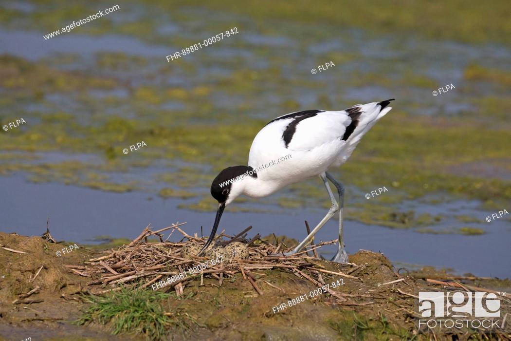 Stock Photo: Eurasian Avocet (Recurvirostra avosetta) adult, turning eggs at nest, Suffolk, England, May.