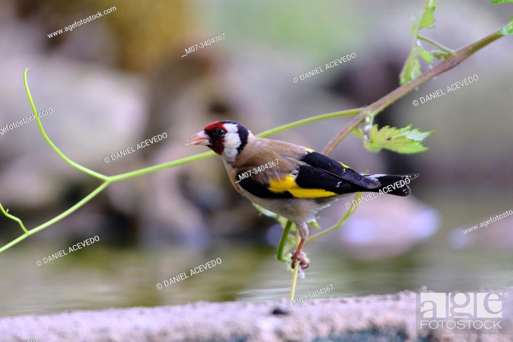 Stock Photo: European goldfinch (Carduelis carduelis), La Rioja, Spain.