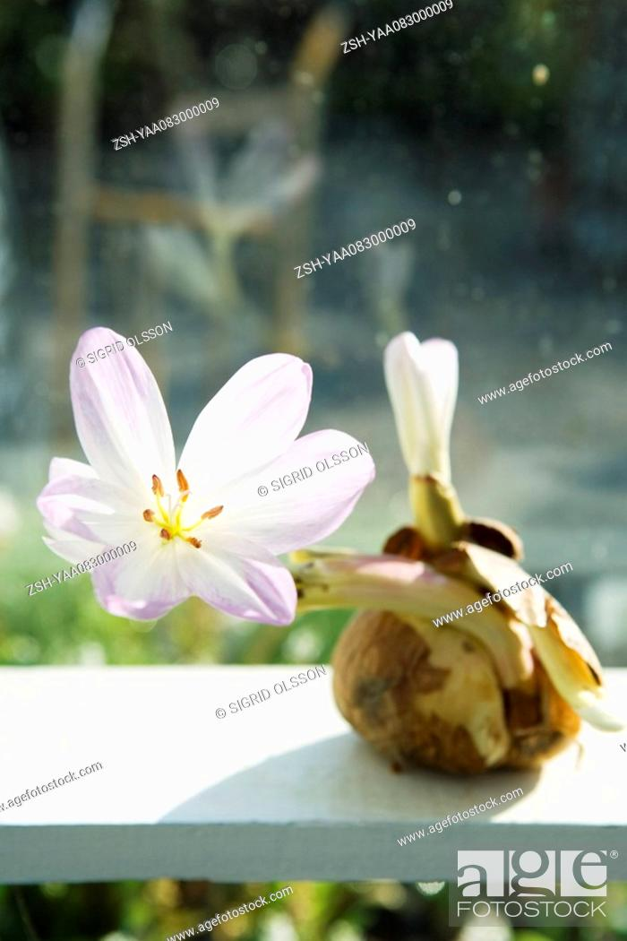 Stock Photo: Amaryllis flower blooming out of bulb.