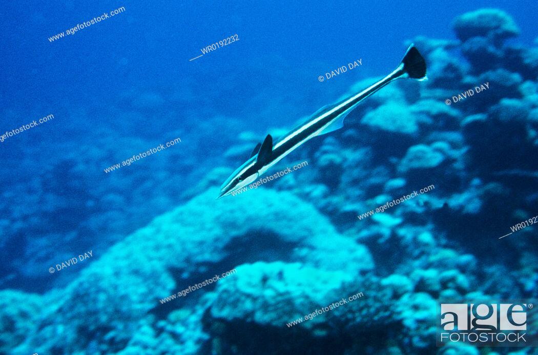Stock Photo: Sharksucker Echeneis naucrates Truk Lagoon, Truk Chuuk 1990.