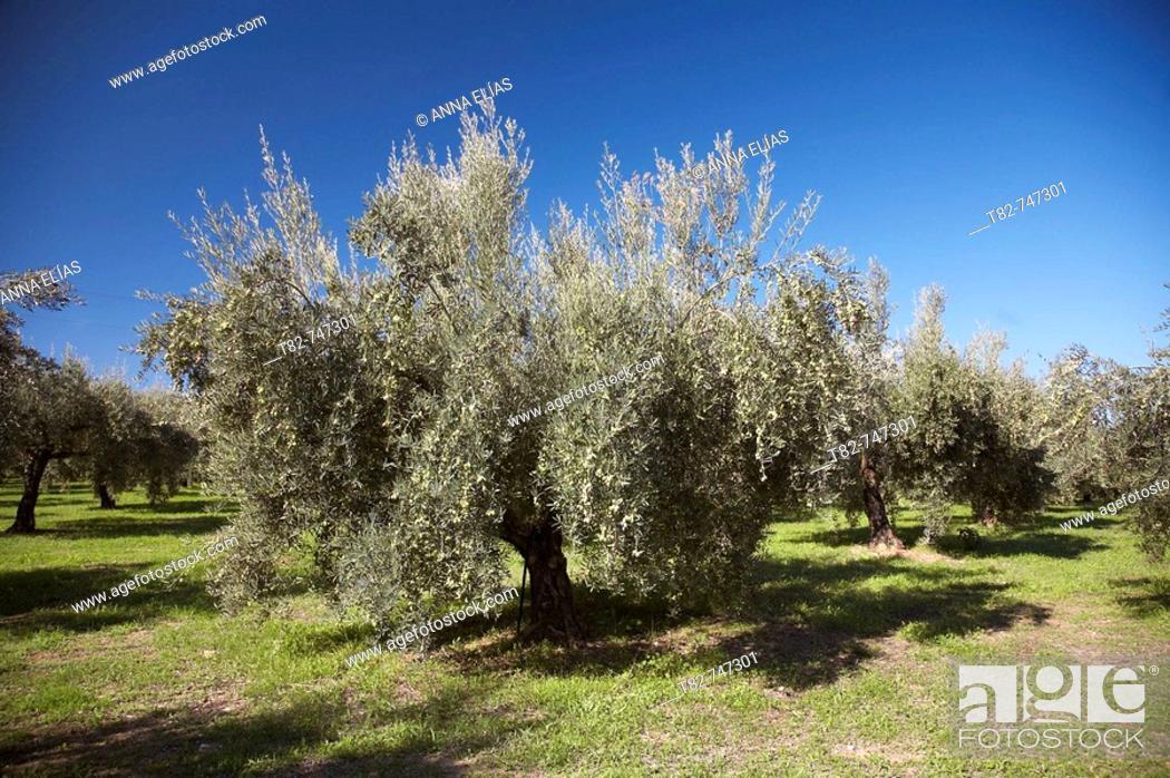 Stock Photo: Olive grove. Cordoba province, Andalucia, Spain.