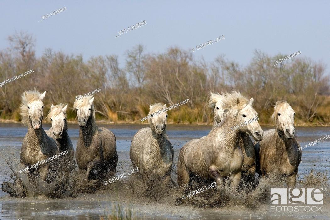 Stock Photo: CAMARGUE HORSE, HERD GALLOPING IN SWAMP, SAINTES MARIE DE LA MER IN THE SOUTH OF FRANCE.