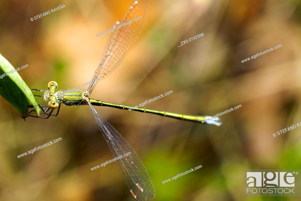 Imagen: Emerald damselfly (Lestes sponsa) - Umbria, Italy.