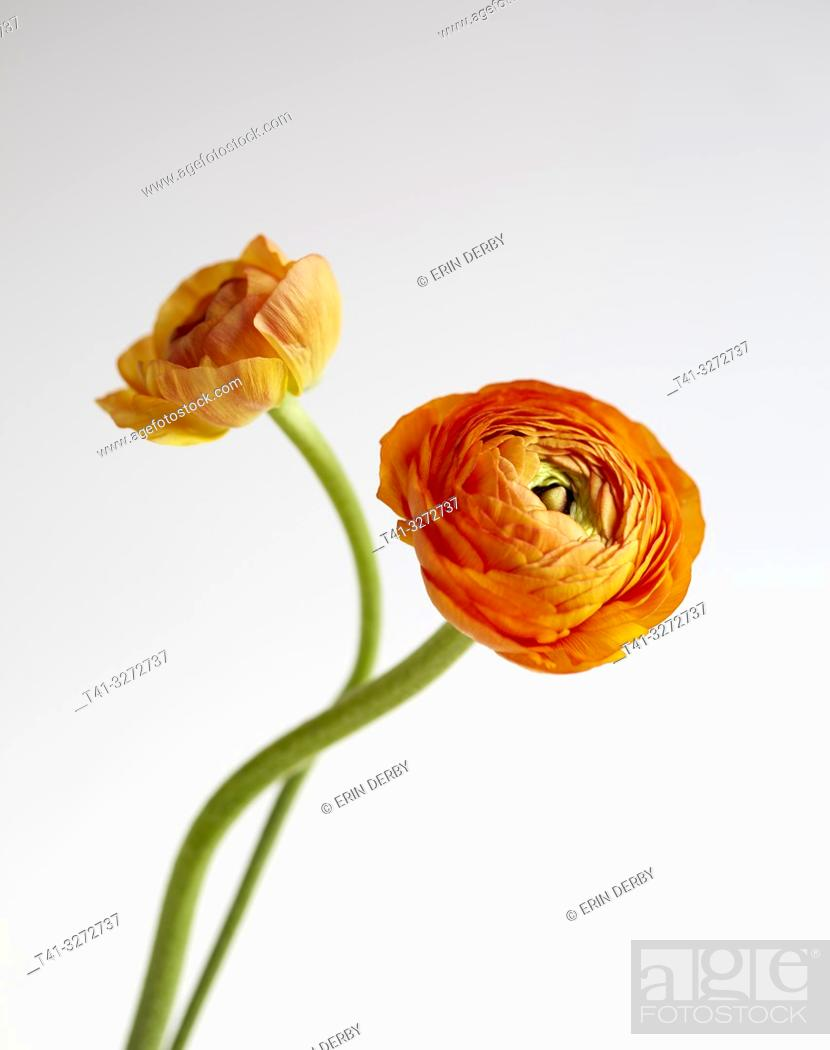 Stock Photo: A pair of orange rununculus flowers photographed against a white background.