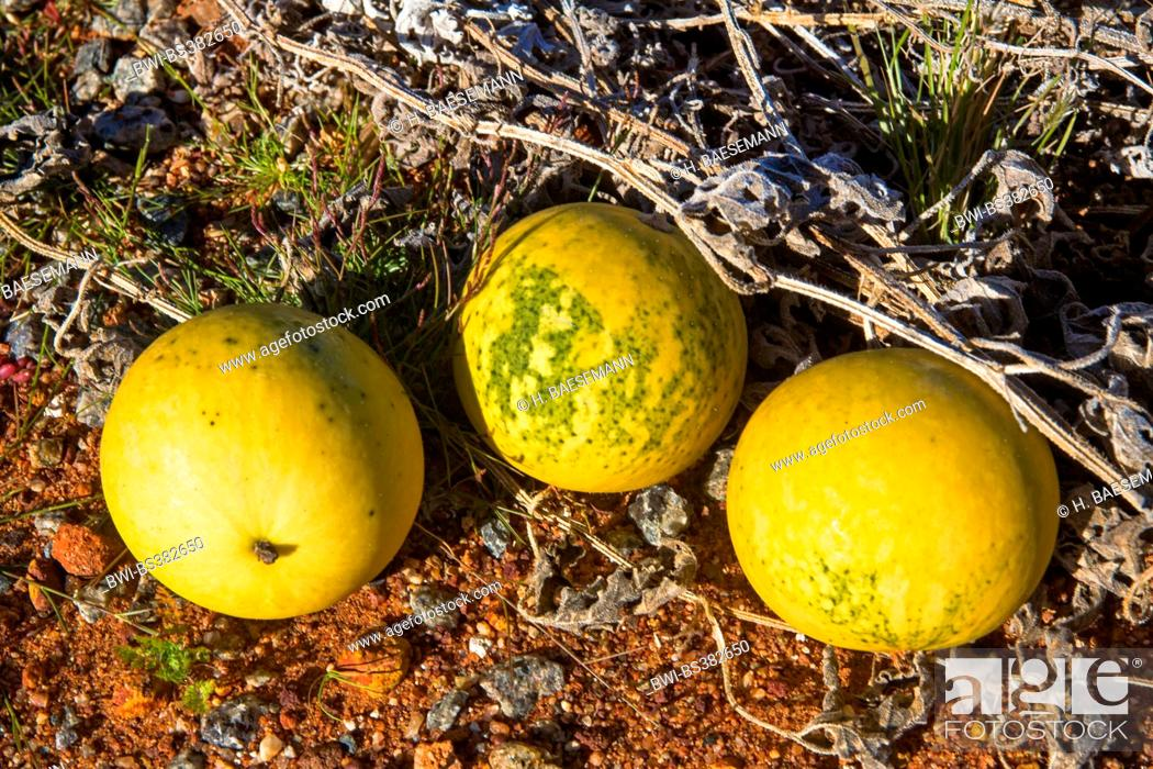 Stock Photo: bitter apple, colocynth (Citrullus colocynthis), three fruits at a roadside, Australia, Western Australia, Mount Magnet Sandstone Road.