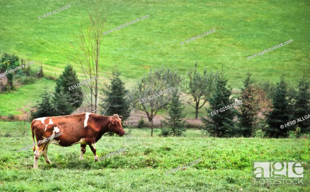 Stock Photo: brown and white spotted cow stands on a green field in countryside with hills in black forest with trees and meadows and a small fenced garden in the background.