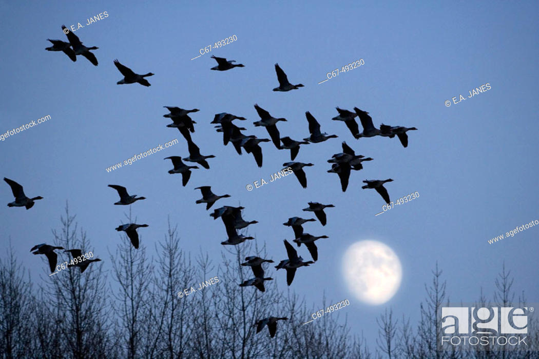 Stock Photo: Canada Geese (Branta canadensis), Hertfordshire, UK.