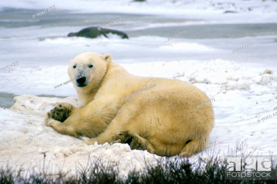 Stock Photo: Arctic, animals, bear.