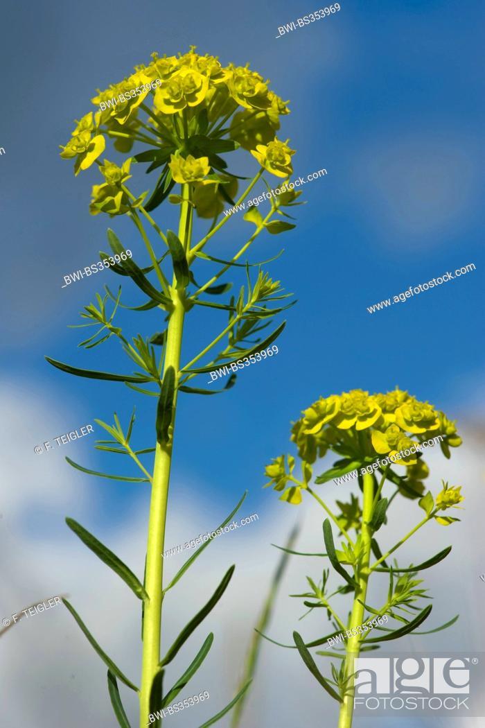 Stock Photo: cypress spurge (Euphorbia cyparissias), blooming, Germany.