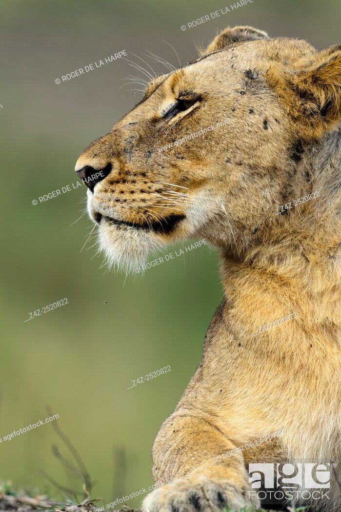 Imagen: Lion (Panthera leo). Phinda / Munyawana / Zuka Game Reserve. KwaZulu Natal. South Africa.
