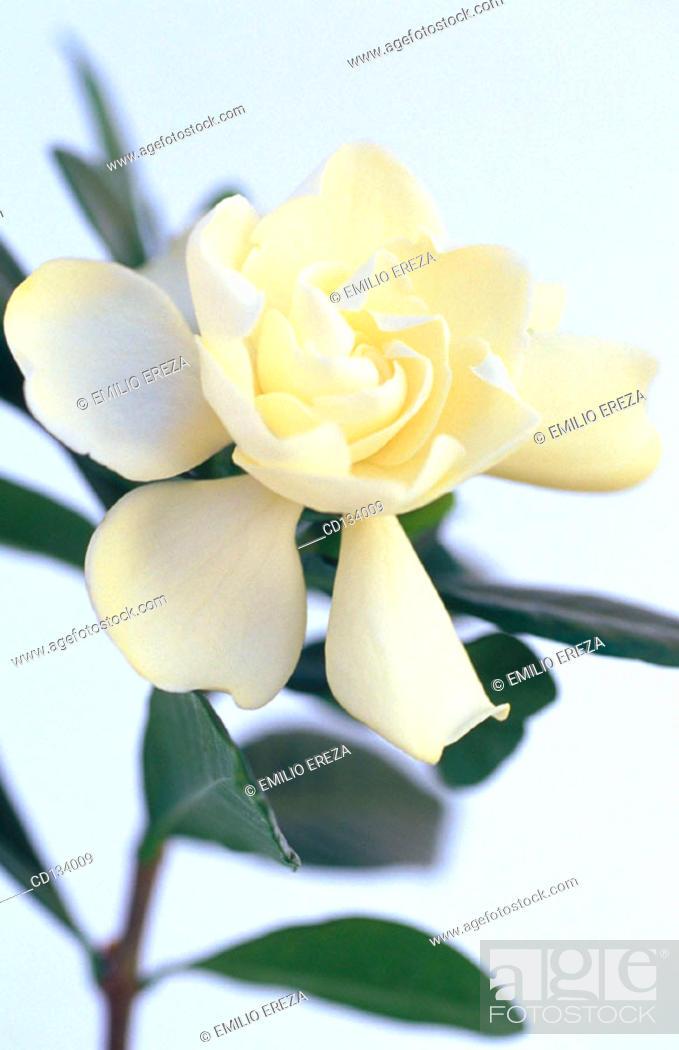 Stock Photo: Gardenia jasminoides.