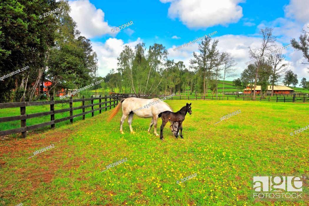 Stock Photo: The thoroughbred horses graze.