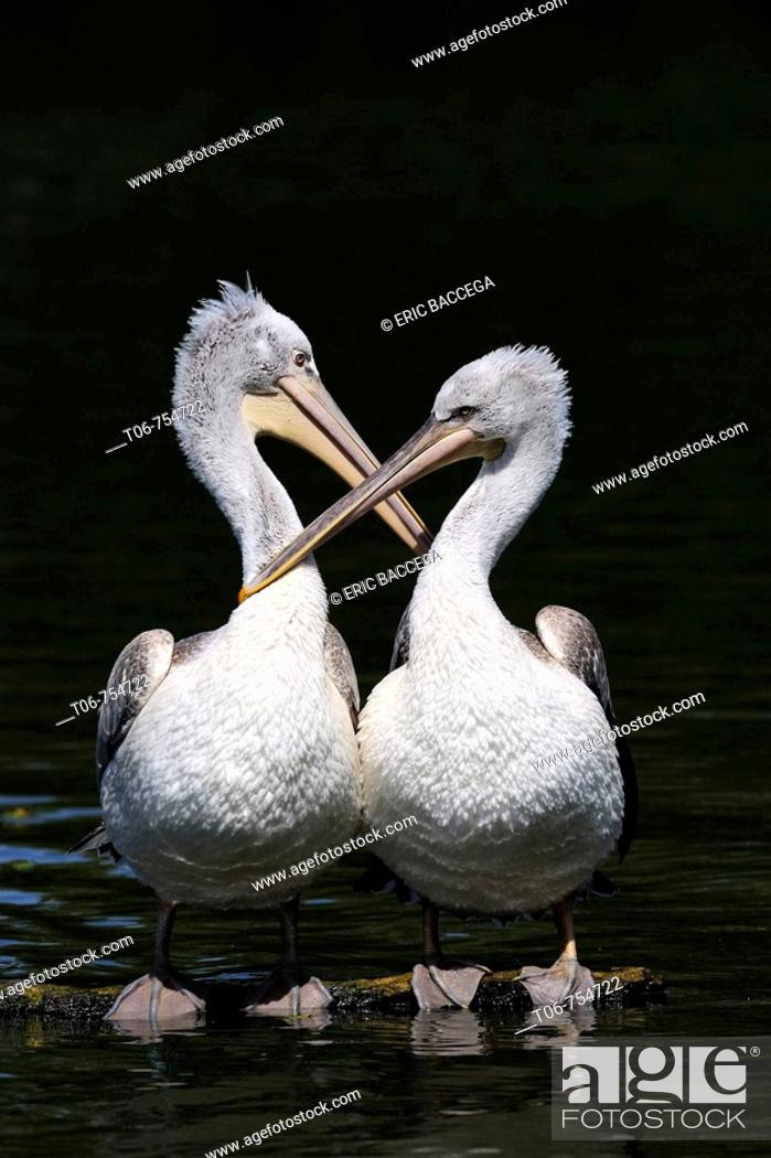 Stock Photo: Two Dalmatian pelican grooming on water (Pelecanus crispus) IUCN red list of endangered species VU, vulnerable, seabird.
