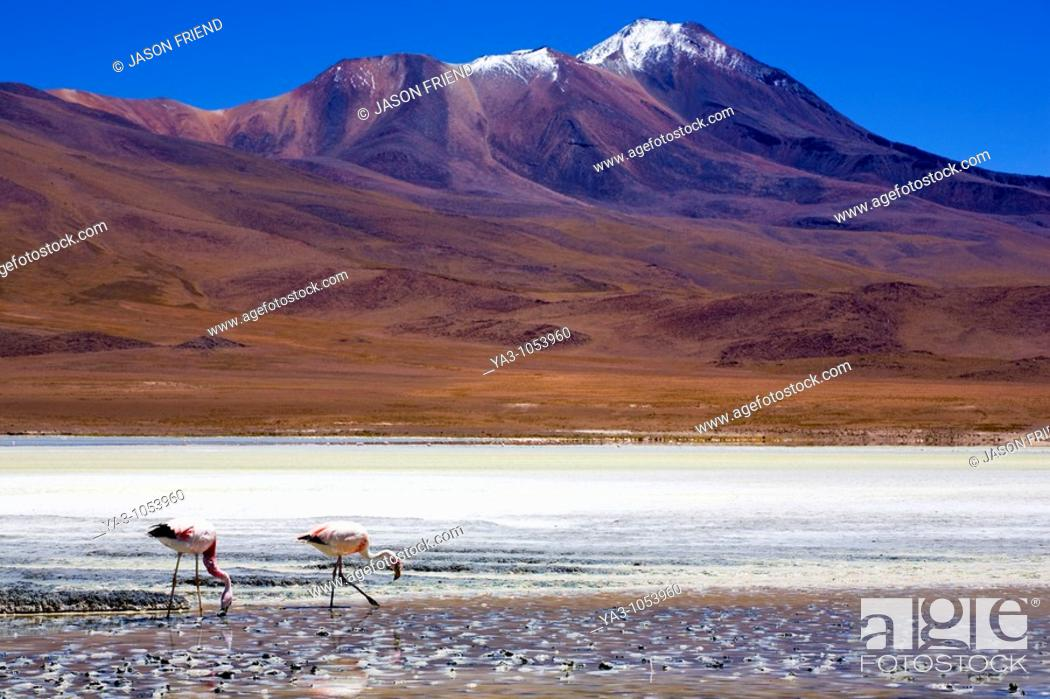 Stock Photo: Bolivia, Southern Altiplano, Uyuni Highlands  Flamingoes upon a mineral coloured lake in the Bolivian Highlands.