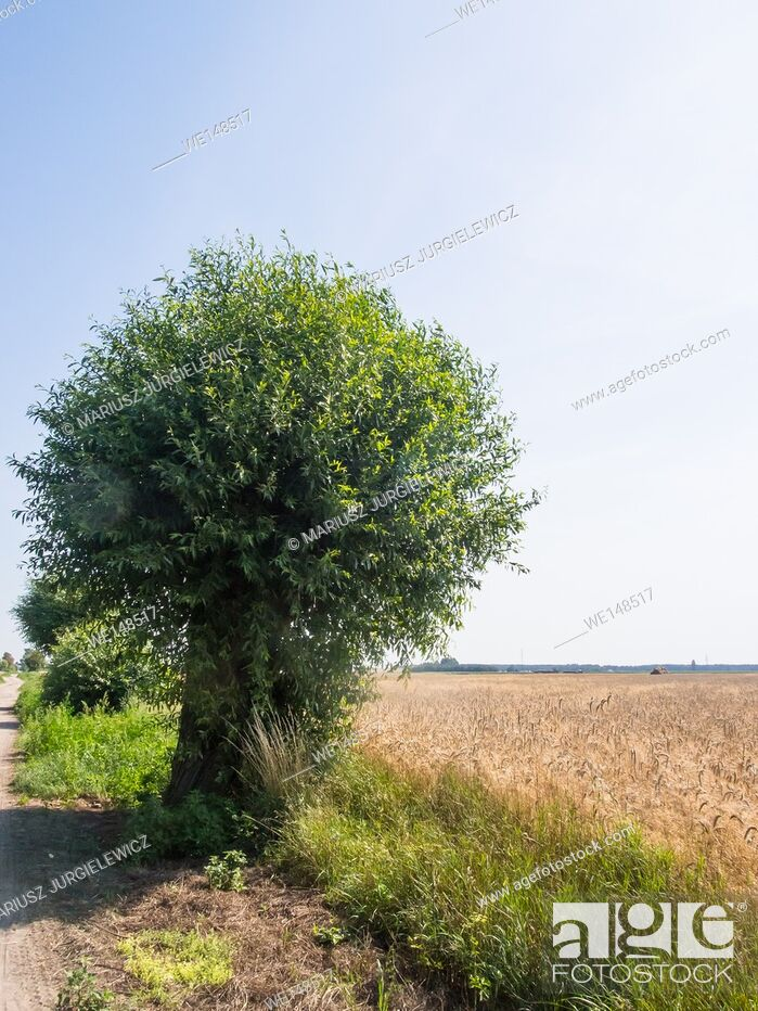 Stock Photo: Goat willow (Salix caprea)in countryside in Poland.