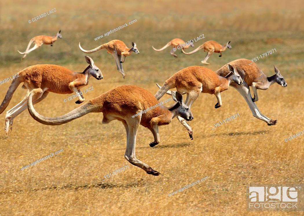 Stock Photo: Red Kangaroo, macropus rufus, Australia, Group running.