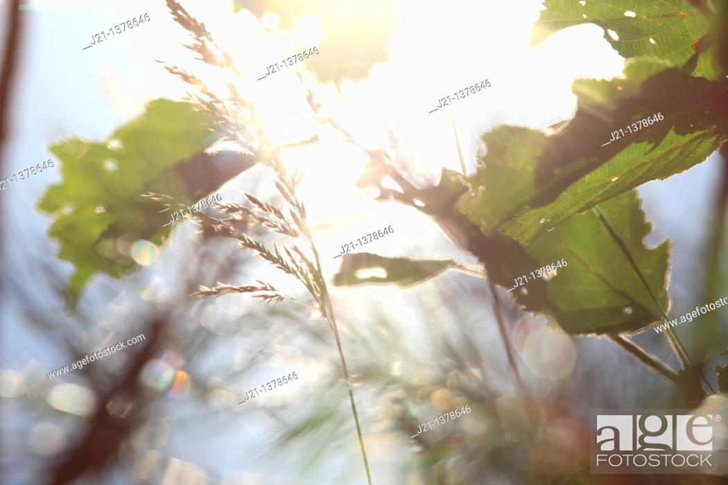 Stock Photo: Grasses and leaves in front of a lake in which the bright summer sun is reflected.