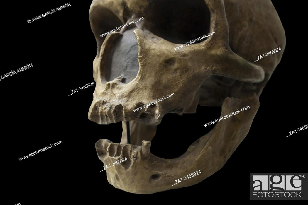 Stock Photo: Skull of Homo neanderthalensis, replica. Catalan Museum of Archaeology, Barcelona, Spain.