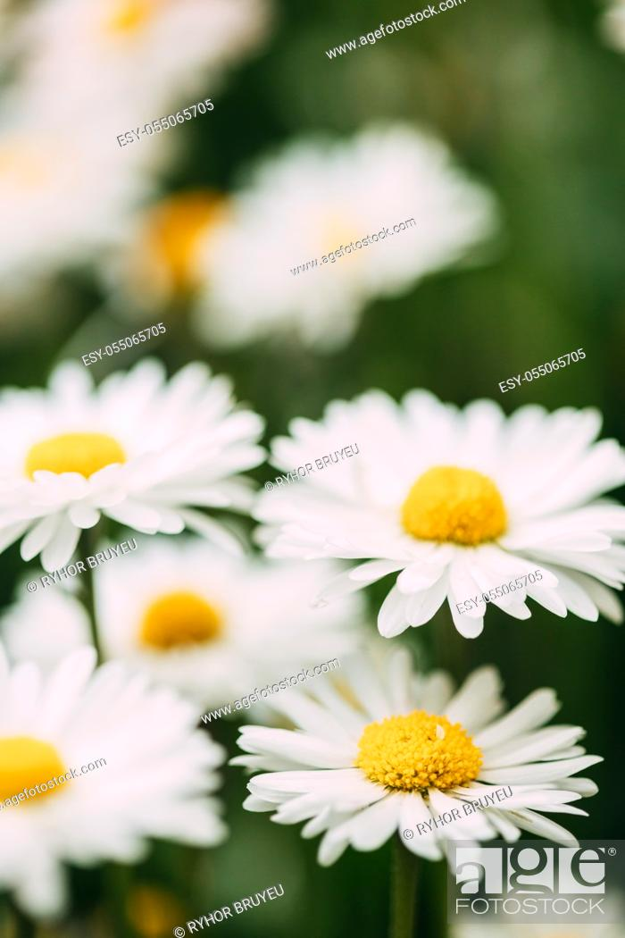 Stock Photo: Blooming Wild Flowers Matricaria Chamomilla Or Matricaria Recutita Or Chamomile. Commonly Known As Italian Camomilla, German Chamomile, Hungarian Chamomile.