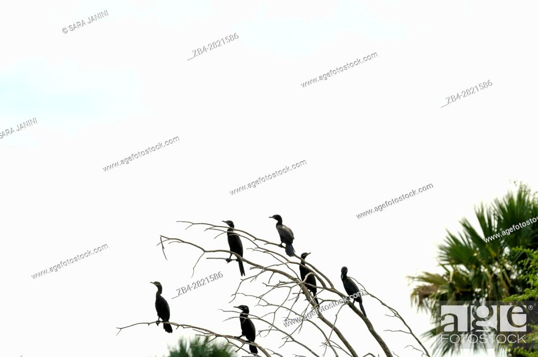 Stock Photo: Cormorant (Phalacrocoracidae) aquatic birds, Centla swamps (Pantanos de Centla) tropical moist forest biosphere reserve, Tabasco, Mexico, America.