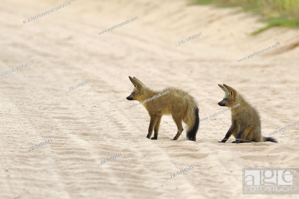 Stock Photo: Bat-eared foxes (Otocyon megalotis), adults, in the middle of a dirt road, Kgalagadi Transfrontier Park, Northern Cape, South Africa, Africa.