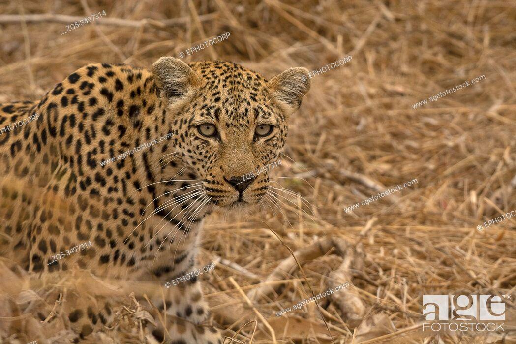 Imagen: Leopard, Panthera pardus, Kruger National Park, South Africa.