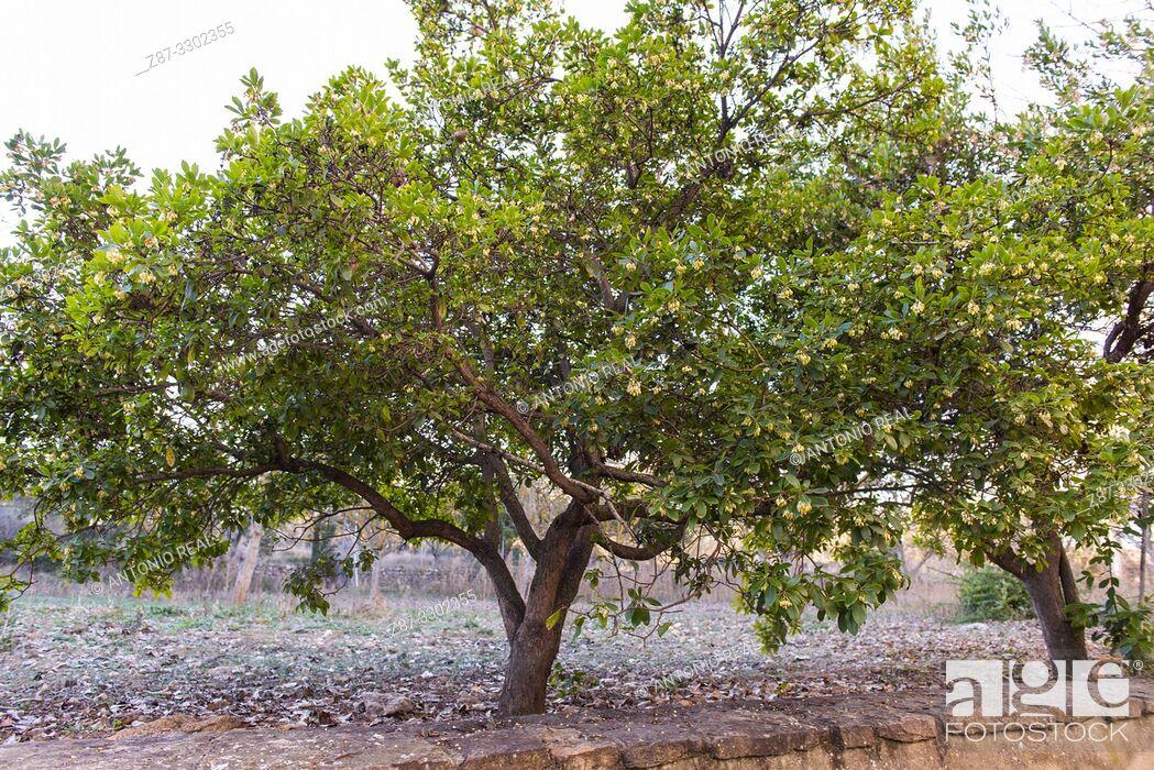 Imagen: Strawberry tree (Arbutus unedo), Almansa, Albacete province, Spain.