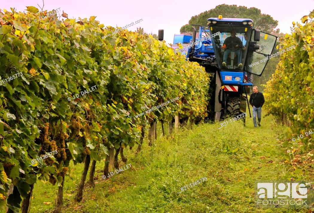 Stock Photo: Roland Gessler of the Domaine de Jöy wines and armagnac estate during the harvest, Panjas, Gers, Midi-Pyrenees, France.