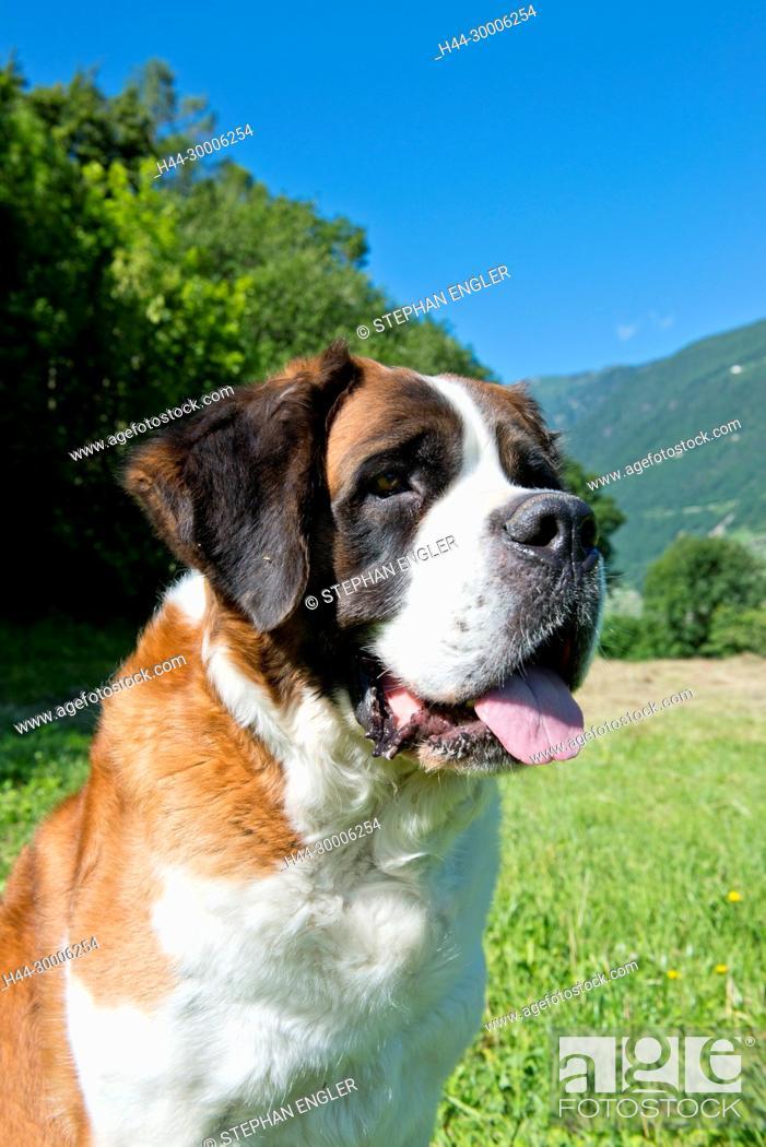 Imagen: Switzerland, Valais, Martigny, Saint-Bernard , Barry dogs.