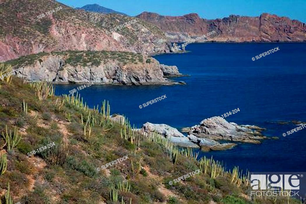 Stock Photo: Organ Pipe cacti Stenocereus thurberi on hillside with mountain in the background, Sea of Cortez, Guaymas, Sonora, Mexico.