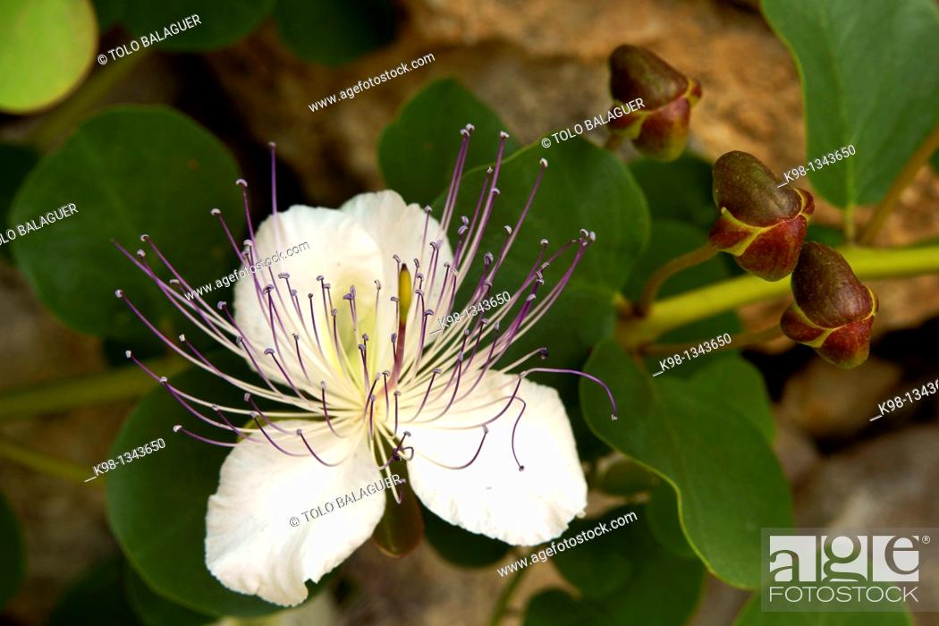 Stock Photo: Caper blossom, Es Pujol Migjorn Llucmajor Mallorca Balearic Islands, Spain.