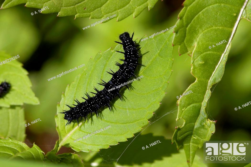 Stock Photo: peacock moth, peacock (Inachis io, Nymphalis io), caterpillar on nettle leaf, feeding, Germany, Bavaria.