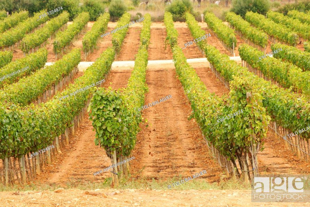 Stock Photo: Macia Batle Vineyard in Santa Maria Raiguer Mallorca Illes Balears Spain.