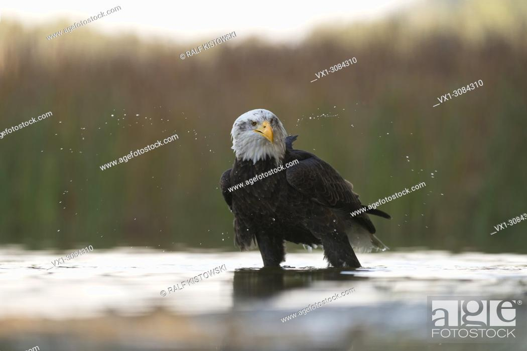 Stock Photo: Bald Eagle ( Haliaeetus leucocephalus ), adult, stands in shallow water, shaking its head.