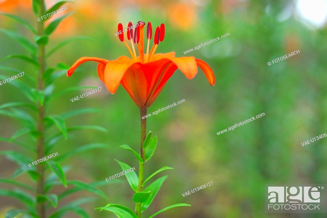 Stock Photo: Lily.