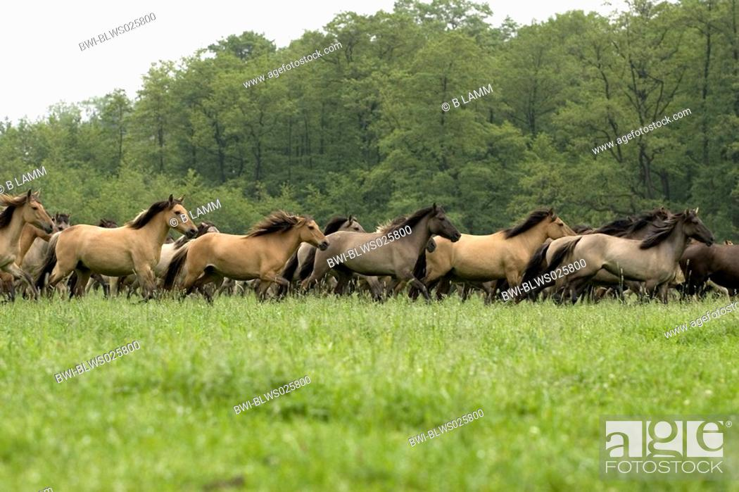 Stock Photo: Duelmen pony Equus przewalskii f. caballus, herd in gallop, Germany.