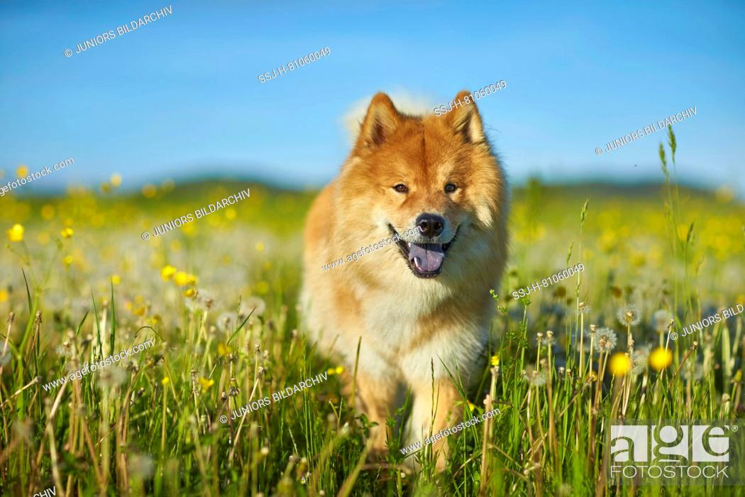 Imagen: Eurasier, Eurasian. Adult dog walking in a meadow. Germany.
