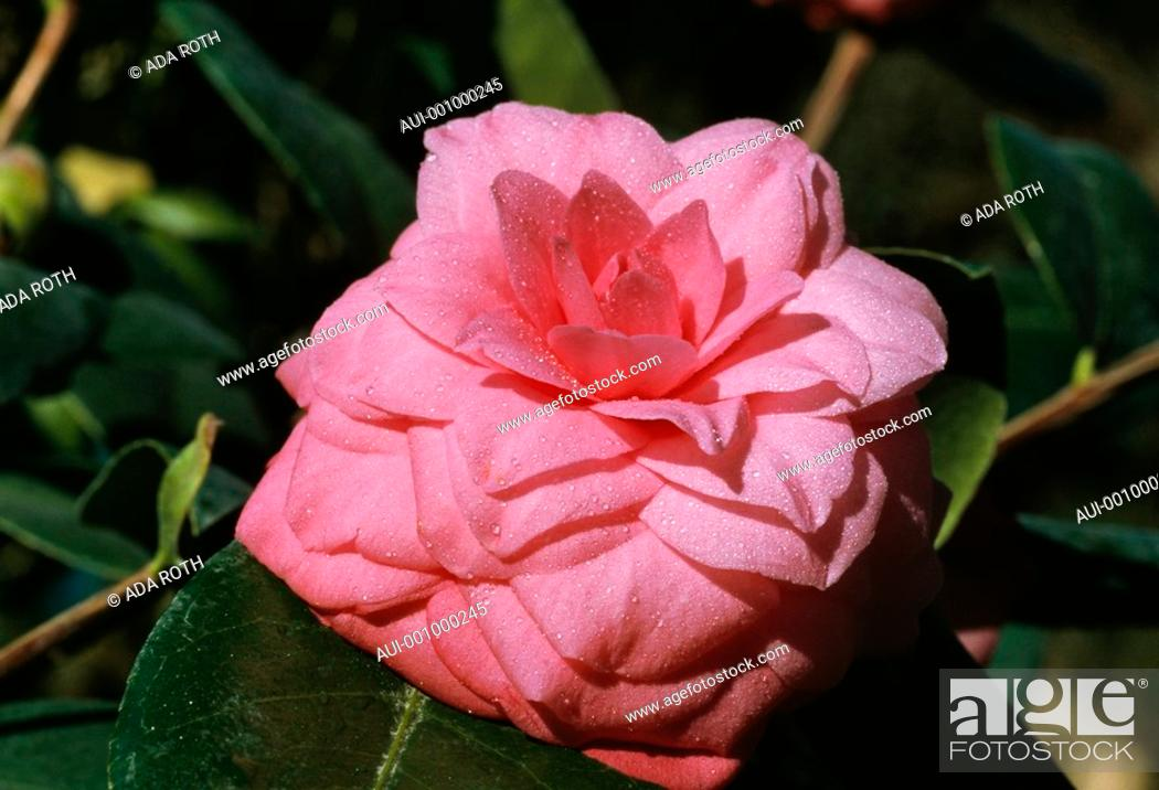 Stock Photo: Camellia - pink - sophisticated - refined - elegant in morning dew.